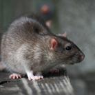 הדברת עכברים וחולדות: איך נלחמים במזיקים?