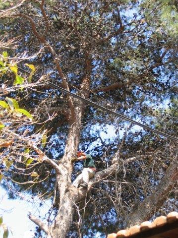 עקירת עצים בוגרים