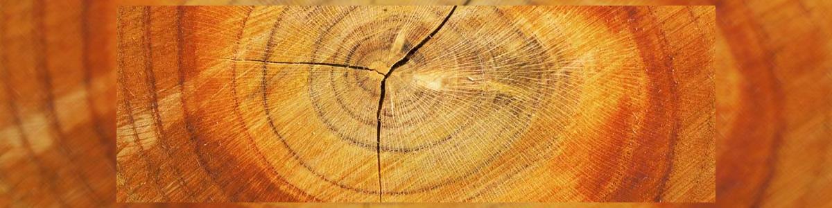 עץ האורן - המרכז לגן ולקבלן - תמונה ראשית