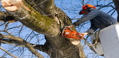 כריתת עצים מסוכנים - תמונת המחשה