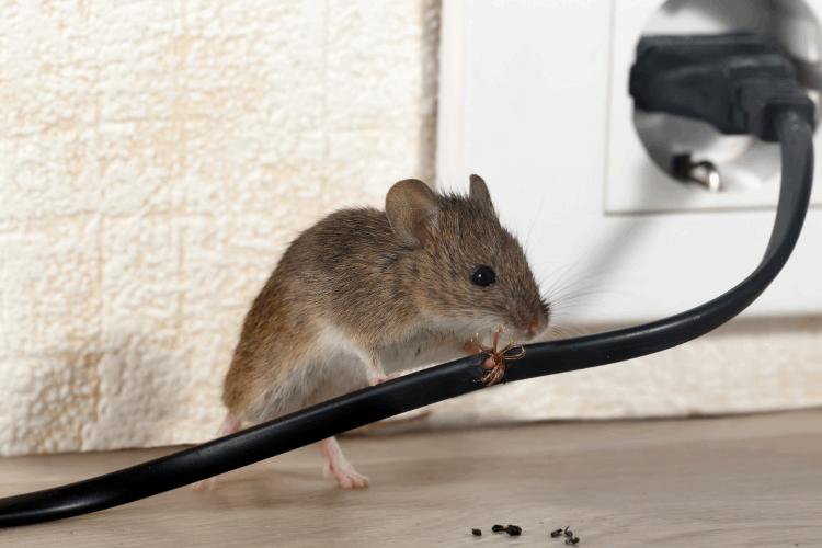עכבר או חולדה? צילום: shutterstock