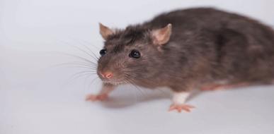 הדברת עכברים וחולדות: איך נלחמים במזיקים? - תמונת המחשה