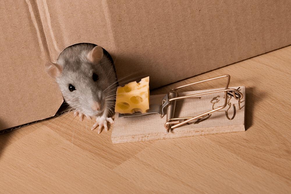 הדברת עכברים: תמונה שאטרסטוק