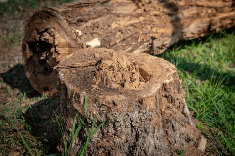 כריתת עצים. צילום: shutterstock