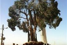 העתקת עצים עם מנוף