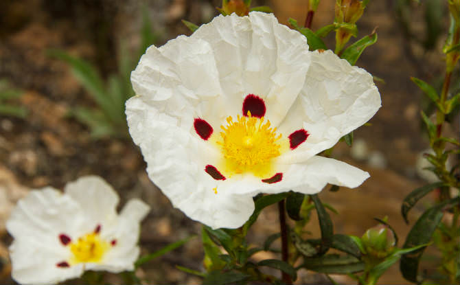 פרח הלוטם
