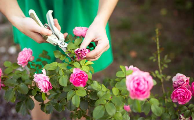 גזימת שיח ורד