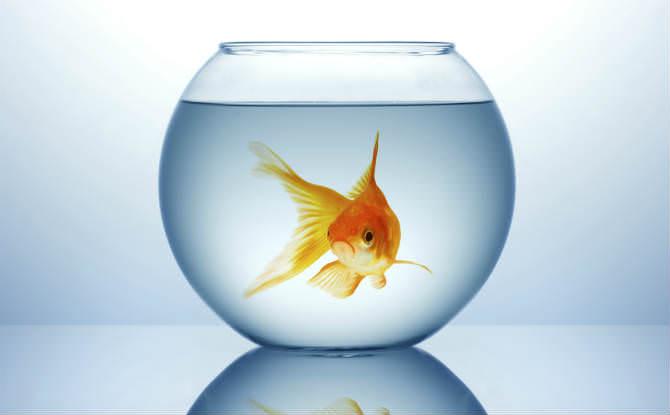 דג זהב באקווריום